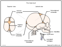 Embryology Illustrations for Presentations and Publications