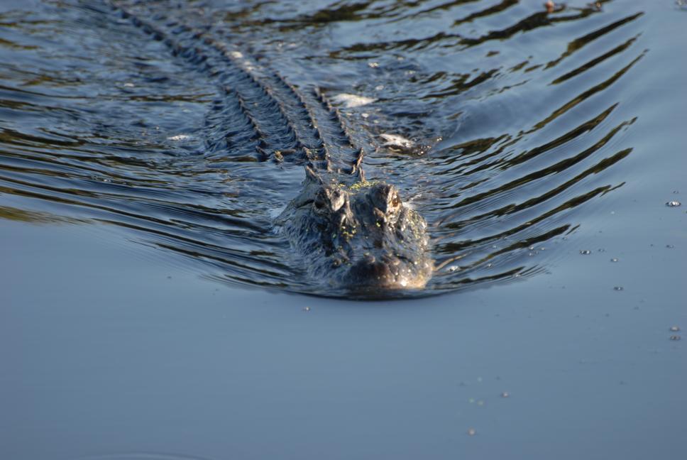 Image result for alligator in water