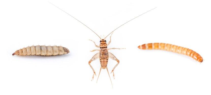Entomotechnologies et entomophagie