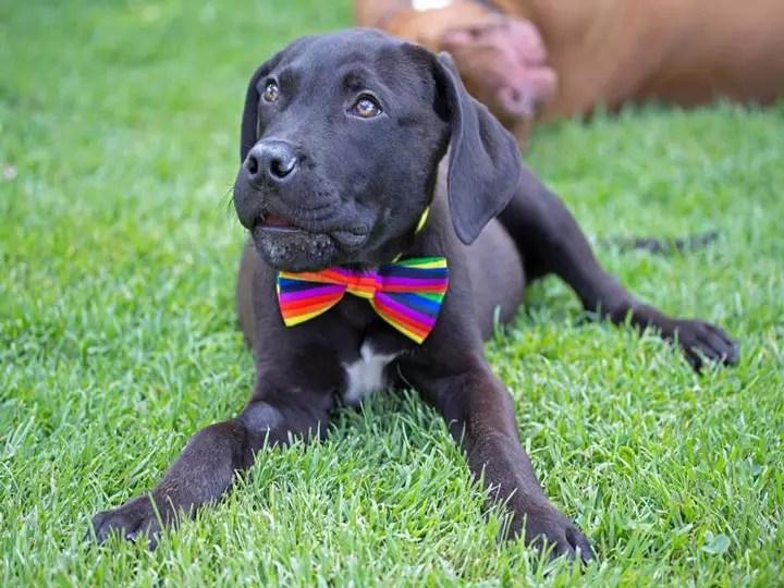 Labrador wearing a bowtie - SEQ K9 Rescue Inc