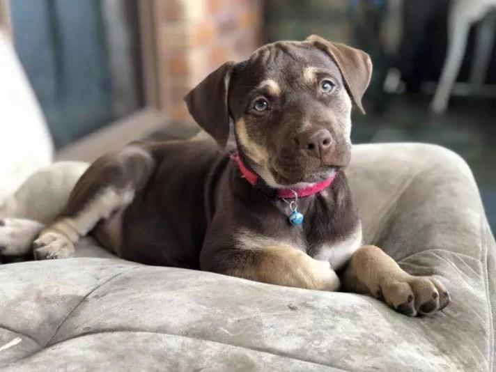 Picture of a cute little lab pup - SEQ K9 Rescue Inc