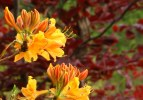 Copper beeches are a wonderful foil for the yellow molls azaleas.