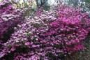 Pink-azaleas.jpg