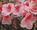 azalea-with-a-face-detail.jpg