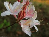 Pale-deciduous-azalea.jpg