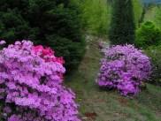 azaleas-in-arboretum.jpg