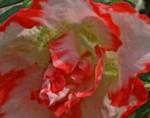 picotee-red-azalea.jpg
