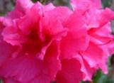 shocking-pink-azaleas.jpg