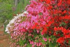 Azaleas-in-popping-colours.jpg