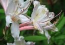 Pale-deciduous-azalea-3.jpg
