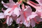Pink-deciduous-azalea-detail.jpg