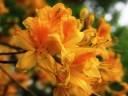 Yellow-azalea-at-Carpetgarden-2.jpg