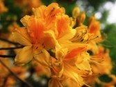 Yellow-azalea-at-Carpetgarden-2.jpg