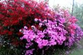 Bottom-of-the-avenue-azaleas.jpg
