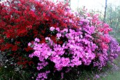 Bottom-of-the-avenue-azaleas.jpg