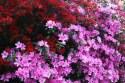 Colourful-azaleas.jpg