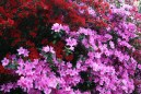 Colourful-azaleas.jpg