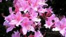 Pink-deciduous-azalea-next-day.jpg