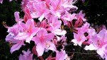 Pink-deciduous-azalea-next-day.jpg