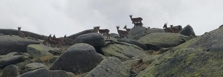 Pelaos cabras Gredos SERAC COMPAÑÍA DE GUÍAS