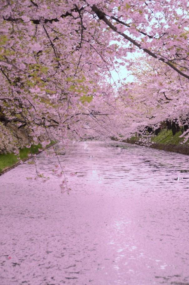 弘前城を囲むお堀を散った桜が埋めつくす「花筏」。