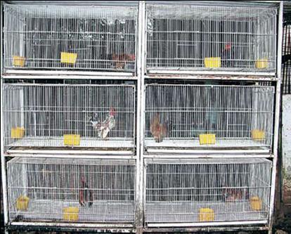 Kandang Ayam Serama 2  AYAM SERAMA INDONESIA