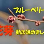 【2017年】ブルーベリーの花芽が動き始めました。