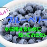 美味しいブルーベリーを収穫するために知っておきたい事