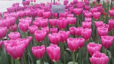 Bunga Tulip Yang Memukau