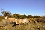 Дружељубив чобанин са Сраже, поносан на своје краве, које је довео да нам покаже!