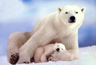 Бели медвед
