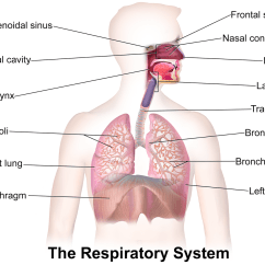 Label The Following Diagram Of Respiratory System Tekonsha Prodigy P2 Wiring Labeled Lungs