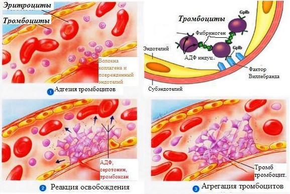 тромбоциты функции