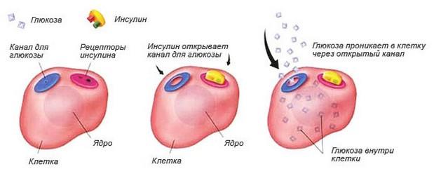 функции инсулина
