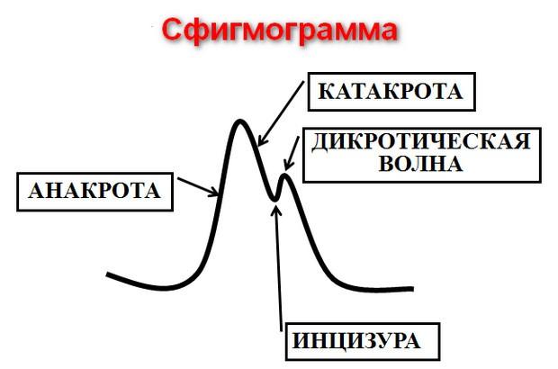 сфигмограмма