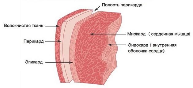 какие оболочки сердца поражаются при кардитах