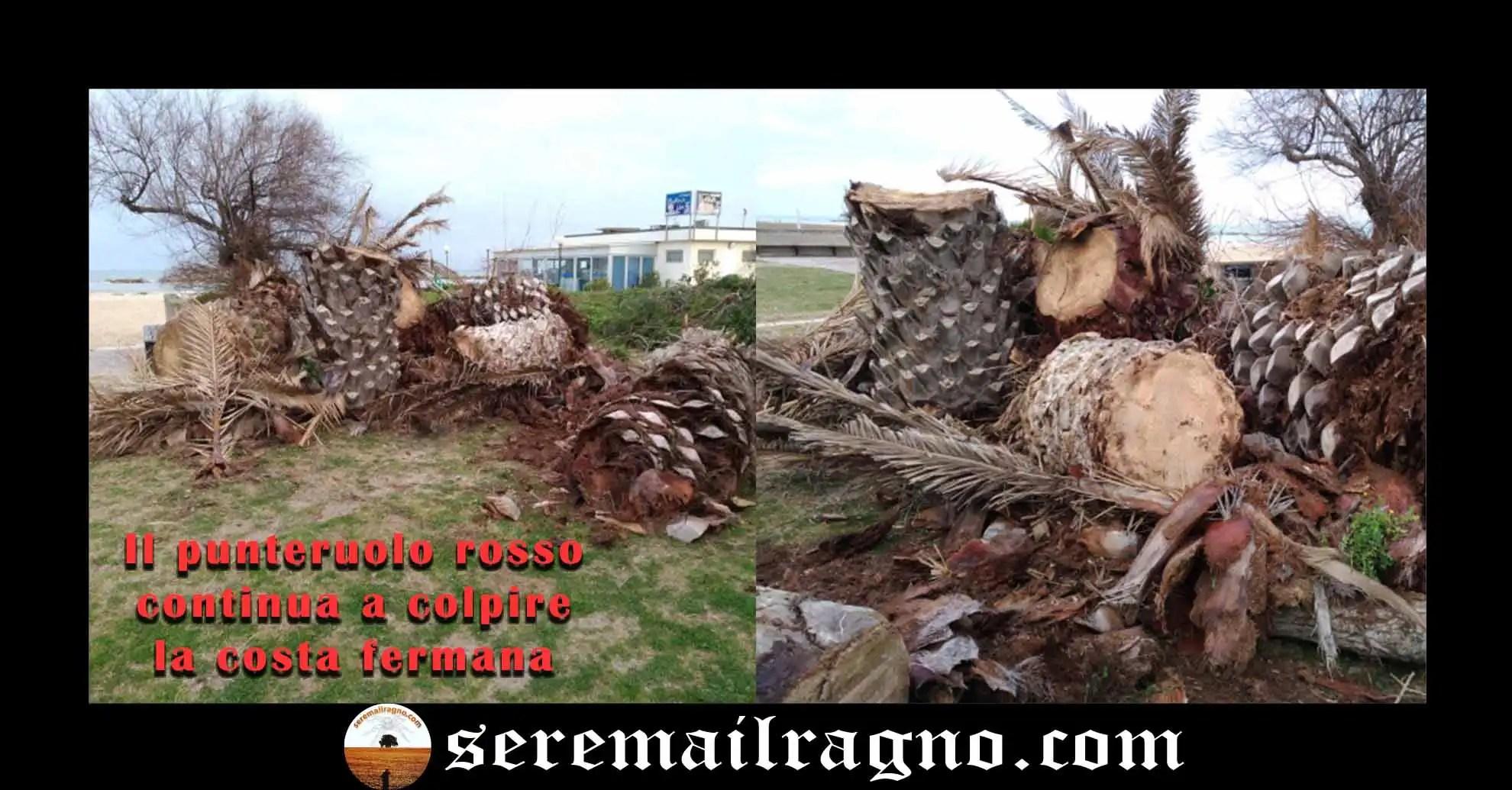 Il punteruolo rosso continua la devastazione lungo la costa adriatica