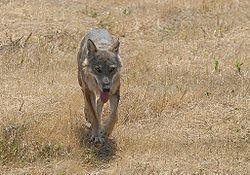 Foto di lupo appenninico