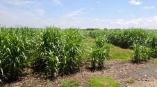 De la canne à sucre à perte de vue : c'est le cañaveral.