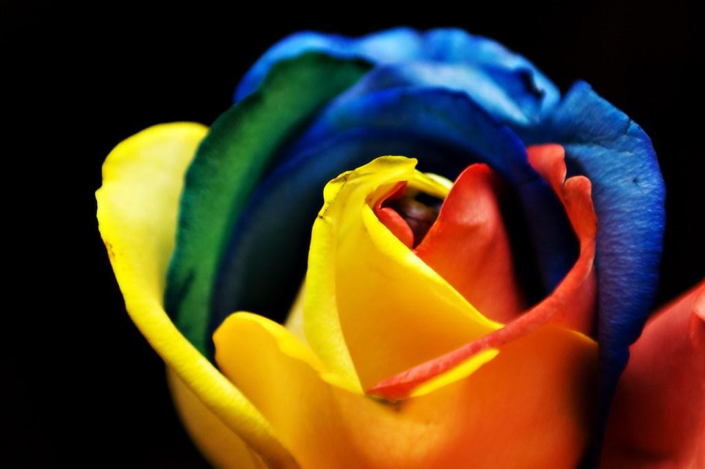 Rainbow_Rose