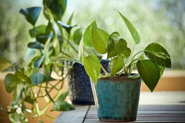Plantas de interior resistentes poto