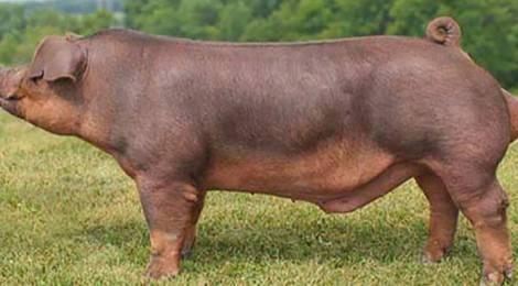 duroc killed star cerdo jamon serrano iberico