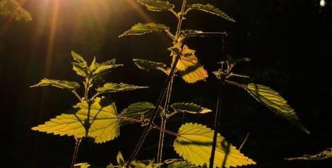 Plantas de acera que nunca imaginarías que son comestibles
