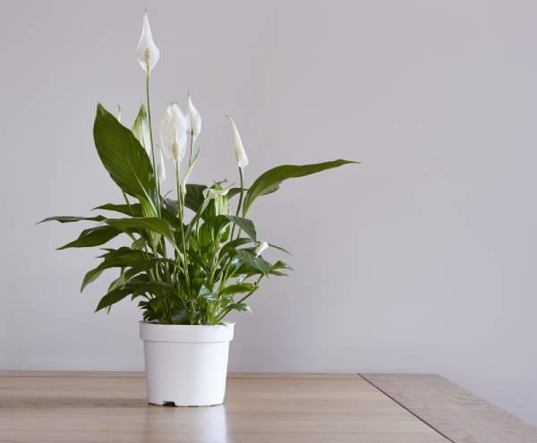 plantas que absorben humedad - lirio de paz