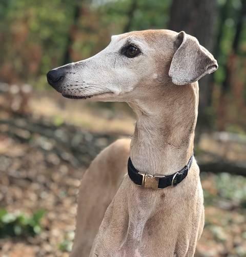 razas de perro curiosas - azawakh
