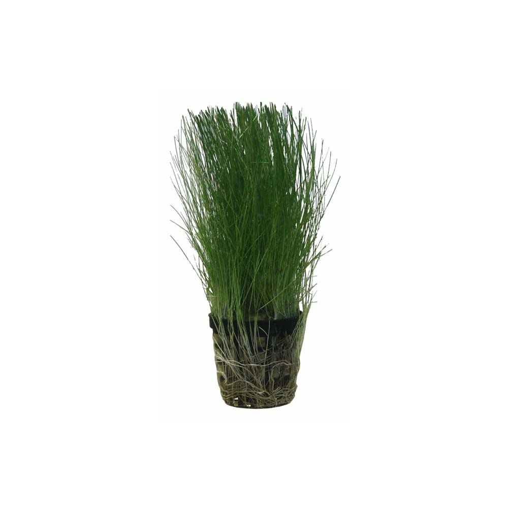 Hairgrass – Eleocharis Acicularis