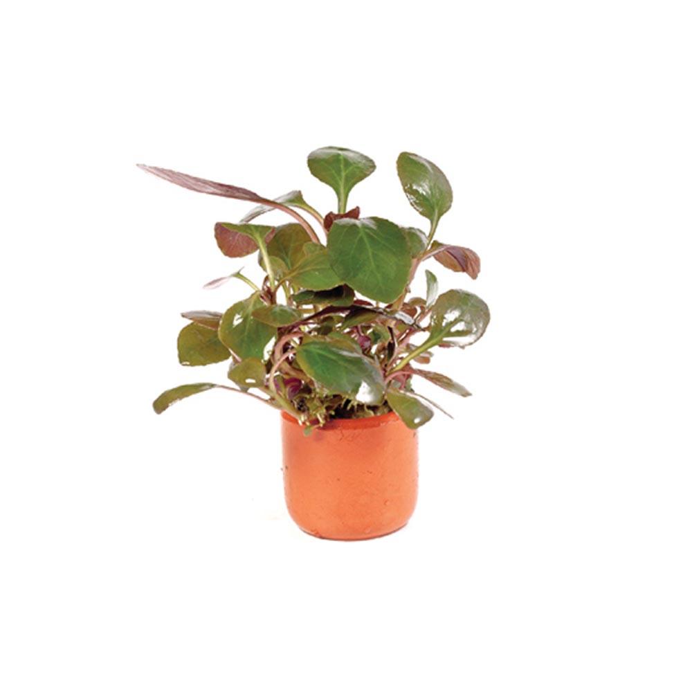 Lobelia Cardinalis 3cm Terracotta Pot