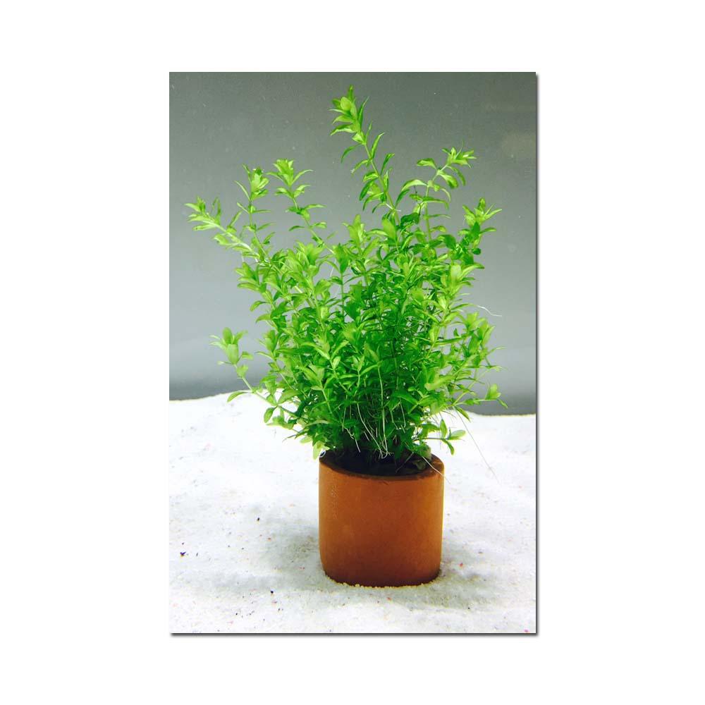 Hemianthus Umbrosum 3cm Pot