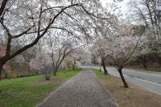 cherry blossom 18