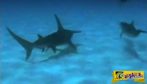Μοναδικό! Δελφίνια εξουδετερώνουν καρχαρία για να προστατέψουν το δύτη!
